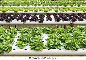 Green lettuce in organic farm