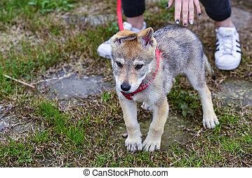 wolfdog puppy in a garden - detail of wolfdog puppy in a...