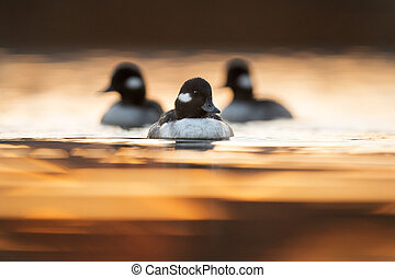 Bufflehead Trio - A small group of Bufflehead hens swim...