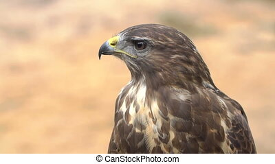 Close-up Red-tailed hawk. Bird of prey. Slow motion shot. -...