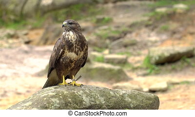 A Red-tailed hawk sitting on a rock - Red-tailed hawk. Bird...