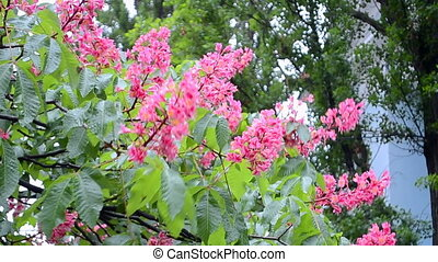 red chestnut flowers (Aesculus carnea) closeup, nature, -...
