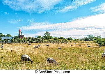 Sheep on Ruegen - Many sheep on Ruegen at Cape Arkona