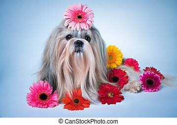 Shih tzu with flowers portrait - Shih tzu dog lying with...