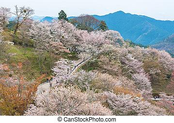 Cherry blossom on Yoshinoyama, Nara, Japan spring landscape.