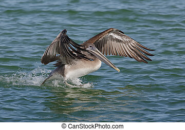 Brown Pelican landing in the Gulf of Mexico - Florida
