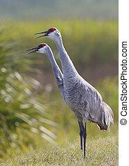 Pair of Sandhill Cranes calling - Melbourne, Florida - Pair...