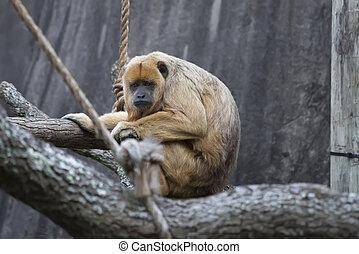 Female Howler Monkey - Female howler monkey playing on a...