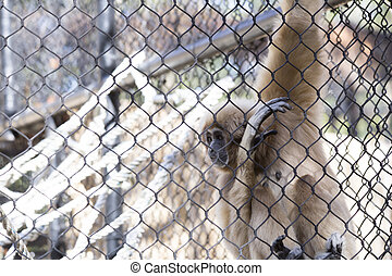 Lar Gibbon - Lar gibbon, also known as a white-handed...