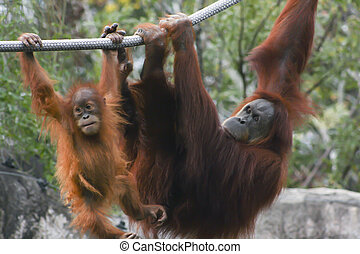 Orangutans - Mother and baby orangutan hanging from a rope