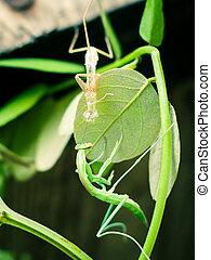 Praying Mantis Shedding - A close-up look of a praying...
