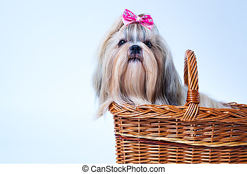Cute shih tzu dog with pink bow sitting in basket on white...