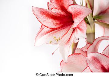 Hippeastrum Amaryllis Charisma, Dutch hybride, white-pink...