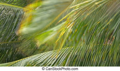 Palm with coconuts waving in the wind - View of palm tree...