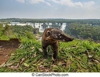 South American Coati by th Iguacu Falls in Brazil - Brazil,...