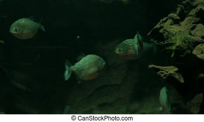 Piranha fish in aquarium - Few freshwater piranha fish...
