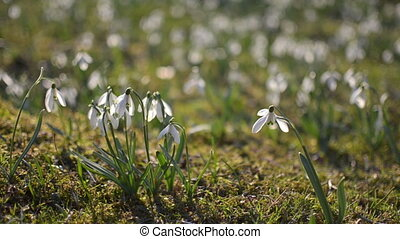 Dolly shoot of wild white snowdrops moving in a wind in green meadow. Pan left to right