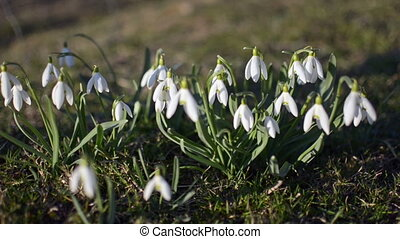 Dolly shoot of wild white snowdrops moving in a wind in green meadow. Zoom out