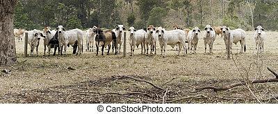 vacas, manada