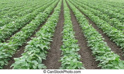 Soy bean field in early summer - Agriculture, green...
