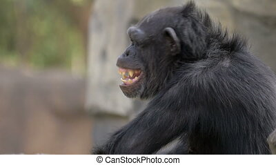 Chimpanzee in the zoo. It yawning and looking sometimes to...