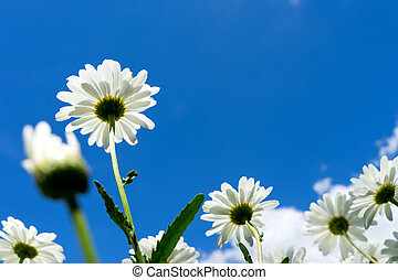 Marguerite - beautiful marguerite and blue sky