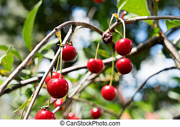red cherries on a cherry tree