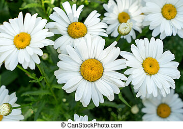 Marguerite - beautiful marguerite in a garden
