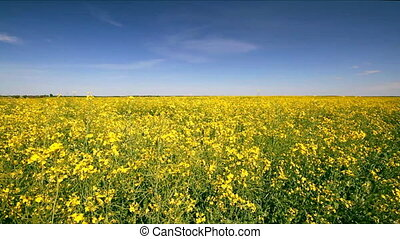 Rape field, Rape swaying in the wind