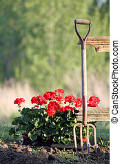 planting geraniums - flat of geraniums next to a fnce with a...