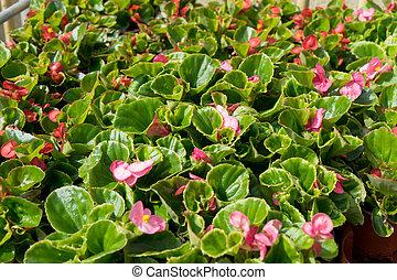 Begonias - many beautiful red begonias