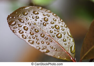 Raindrops on a waxy leaf - Individual rain water droplets...