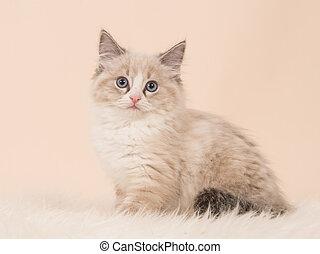 Longhair rag doll baby cat - Pretty fluffly rag doll baby...