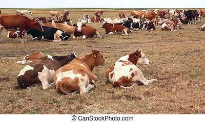 Cows are resting in a meadow - Cows and young heifers are...