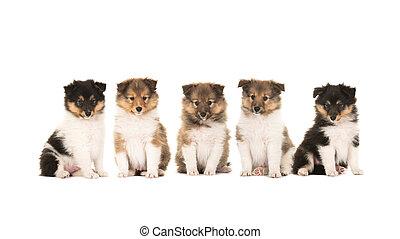 Litter of shetland sheepdog puppies