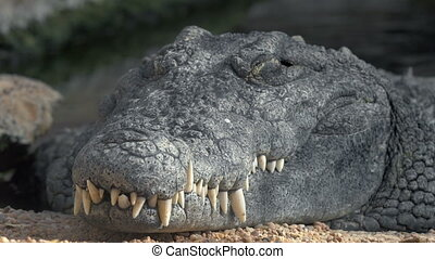 Crocodile with big teeth - Close-up shot of a crocodile with...
