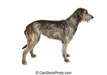 Two years old Irish wolfhound dog isolated on white...