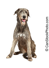 Irish wolfhound dog - Two years old purebred Irish wolfhound...