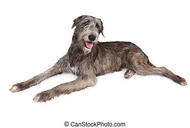 Purebred Irish wolfhound dog - Irish wolfhound dog (two...