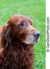 Irish setter - Shot of cute irish setter and green...
