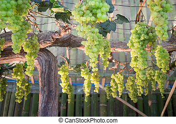 Green grapes hanging on tree display in food festival, stock...
