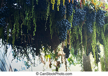 Ripe grapes hanging on tree display in food festival, stock...