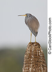 Tricolored Heron perched on a palm tree stump - Florida -...