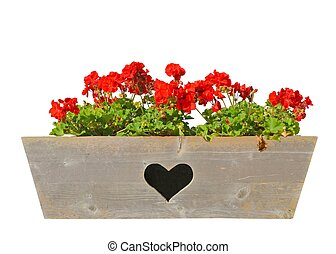 Geranium in window box - Geraniums in a wooden window box...