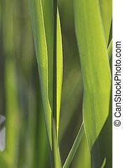 Reeds at Lake Balaton - Reed beds near Szigliget, Lake...
