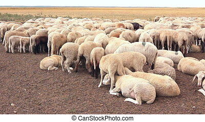 Flock sheep are resting on meadow. - Large number sheep are...
