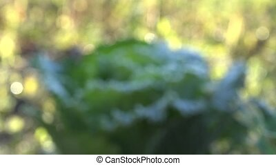frozen cabbage vegetable plant head. Focus in from blur. 4K...