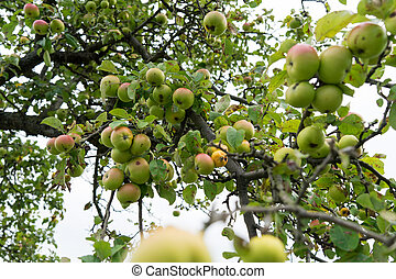 Apple tree with many apples