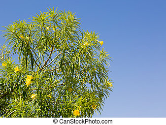 Yellow Oleander (Thevetia peruviana) against a clear blue...
