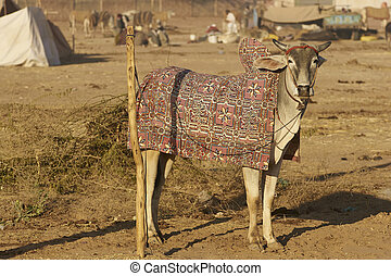 Nagaur Livestock Fair - Bullock in colourfully embroidered...